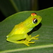 Boophis tasymena - Photo (c) Louis Imbeau, some rights reserved (CC BY-NC)