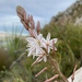 Trachyandra tabularis - Photo (c) Simon Sephton, algunos derechos reservados (CC BY-NC)
