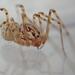 Araña Escupidora - Photo (c) Alexis, algunos derechos reservados (CC BY)