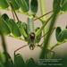 Obolopteryx brevihastata - Photo (c) Dra. Laura Elvia Uribe Lara, alguns direitos reservados (CC BY-NC)