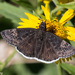Funereal Duskywing - Photo (c) Greg Lasley, some rights reserved (CC BY-NC)