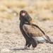 Águila Volatinera - Photo (c) Di Franklin, algunos derechos reservados (CC BY-ND)