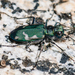 Green Long-lipped Tiger Beetle - Photo (c) Marshal Hedin, some rights reserved (CC BY-NC-SA)