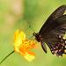 Mariposa Cometa de Manchas Rosas - Photo (c) Ricardo Arredondo T., algunos derechos reservados (CC BY-NC)