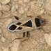Xanthochilus saturnius - Photo (c) Valter Jacinto | Portugal, μερικά δικαιώματα διατηρούνται (CC BY-NC-SA)