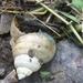 Filopaludina bengalensis - Photo (c) K S Gopi Sundar, algunos derechos reservados (CC BY-NC)