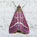 Pyrausta volupialis - Photo (c) Ken-ichi Ueda, algunos derechos reservados (CC BY)