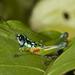 Lithoscirtus viceitas - Photo (c) Karl Kroeker,  זכויות יוצרים חלקיות (CC BY-NC)