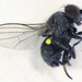 Leucopis tapiae - Photo (c) Stephen Thorpe, algunos derechos reservados (CC BY-NC)