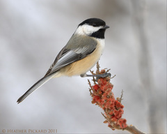 Black-capped Chickadee - Photo (c) Heather Pickard, some rights reserved (CC BY-NC)