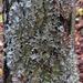Parmotrema reticulatum - Photo (c) Rob Curtis, algunos derechos reservados (CC BY-NC-SA)