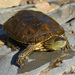Mediterranean Pond Turtle - Photo (c) Valter Jacinto, some rights reserved (CC BY-NC-SA)