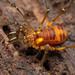 Epedanidae - Photo (c) Ryosuke Kuwahara, alguns direitos reservados (CC BY-NC)