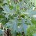 Quercus velutina - Photo (c) Laura Clark, algunos derechos reservados (CC BY)