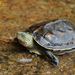 Common Thread Turtle - Photo (c) Kim, Hyun-tae, some rights reserved (CC BY)