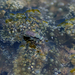 Myriochila undulata - Photo (c) Subash Jeyan,  זכויות יוצרים חלקיות (CC BY-NC)