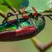Sternocera chrysis - Photo (c) Ganesh Seshachari,  זכויות יוצרים חלקיות (CC BY-NC)