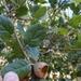 Quercus agrifolia agrifolia - Photo (c) Belinda Lo, algunos derechos reservados (CC BY-NC-SA)