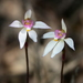 Caladenia alata - Photo (c) Michael Keogh, algunos derechos reservados (CC BY-NC-SA)