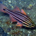 Sydney Cardinalfish - Photo (c) Richard Ling, some rights reserved (CC BY-NC-ND)