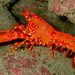Flaming Reef Lobster - Photo (c) Carmelo López Abad, some rights reserved (CC BY-NC)