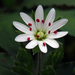 Star Chickweed - Photo (c) A. R., some rights reserved (CC BY-NC-SA), uploaded by Annkatrin Rose