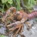 Procambarus gracilis - Photo (c) threelark, algunos derechos reservados (CC BY)