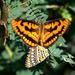 Byblia ilithyia - Photo (c) K. Mohan Raj, algunos derechos reservados (CC BY-SA)