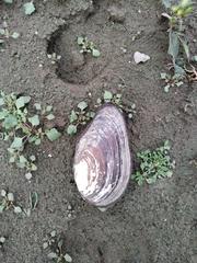 Anodonta anatina image
