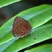 Arhopala agesias - Photo (c) CheongWeei Gan, algunos derechos reservados (CC BY-NC)