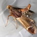 Meal Moth - Photo (c) Victor W Fazio III, some rights reserved (CC BY-NC)