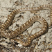 California Glossy Snake - Photo (c) Natalie McNear, some rights reserved (CC BY-NC)