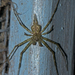 Two-tailed Spiders - Photo (c) Vijay Anand Ismavel, some rights reserved (CC BY-NC-SA), uploaded by Dr. Vijay Anand Ismavel MS MCh