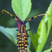 Aristobia - Photo (c) Vijay Anand Ismavel, some rights reserved (CC BY-NC-SA), uploaded by Dr. Vijay Anand Ismavel MS MCh