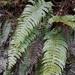 Blechnum deltoides - Photo (c) Leon Perrie, algunos derechos reservados (CC BY)