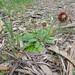 Lagenophora huegelii - Photo (c) Ralph Foster, algunos derechos reservados (CC BY-NC)