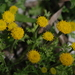 Anthemis rigida - Photo (c) Σάββας Ζαφειρίου (Savvas Zafeiriou), algunos derechos reservados (CC BY-NC)