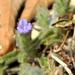 Nelsonia canescens - Photo (c) nicovr, alguns direitos reservados (CC BY-NC)