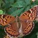 Mariposa Emperatriz Tejana - Photo (c) Sonorabee, algunos derechos reservados (CC BY-NC)
