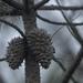 Pinus muricata - Photo (c) Chloe and Trevor, osa oikeuksista pidätetään (CC BY-NC)