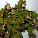 Pseudocyphellaria lividofusca - Photo no hay derechos reservados