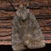 Xestia elimata - Photo (c) Stott Noble, osa oikeuksista pidätetään (CC BY-NC)