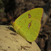 Cloudless Sulphur - Photo (c) Lee Elliott, some rights reserved (CC BY-NC-SA)
