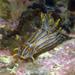 Polycera - Photo (c) Robin Gwen Agarwal, algunos derechos reservados (CC BY-NC)