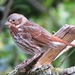 Eastern Red Fox Sparrow - Photo (c) Jeff Skrentny, some rights reserved (CC BY-NC)