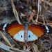 Danaus chrysippus alcippus - Photo (c) i_c_riddell, alguns direitos reservados (CC BY)