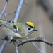 Goldcrest - Photo (c) Илья Сухов, some rights reserved (CC BY-NC)