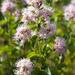 Ageratina occidentalis - Photo (c) Ken-ichi Ueda,  זכויות יוצרים חלקיות (CC BY)