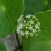 Manyflower Marshpennywort - Photo (c) Eric Ulteig, some rights reserved (CC BY-NC)