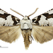 South Island Lichen Moth - Photo (c) Landcare Research New Zealand Ltd, some rights reserved (CC BY)